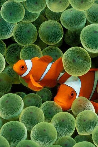 निमो मासे