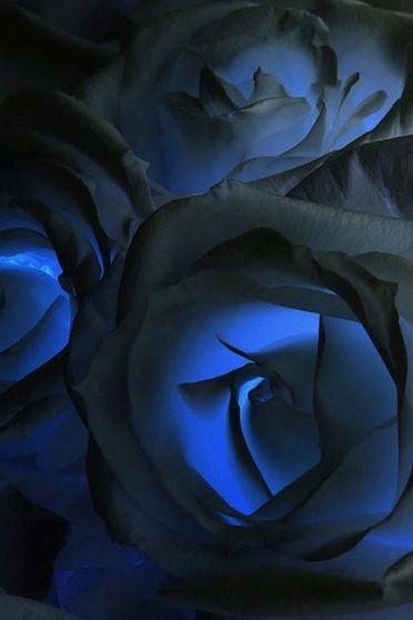 Rosas azuis escuras