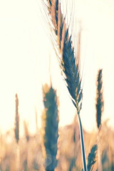 Wheat Leaf