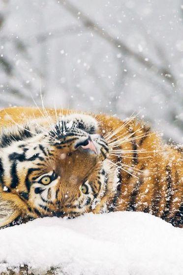Tiger White Day