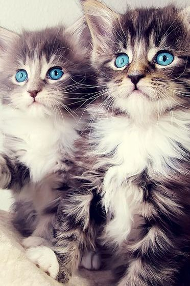 Twin Kitten