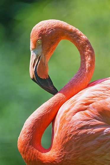 Curved Flamingo