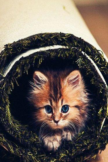 Cat Roll