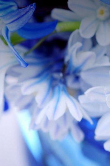 Blaue Blütenblätter
