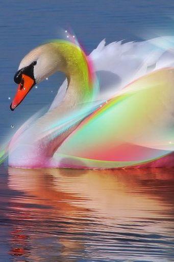 Rainbow Swan Wide