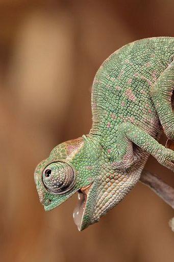 Als Chameleons