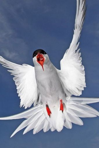 Terns Animal