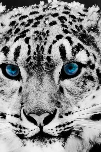 Snow Leopard Animal