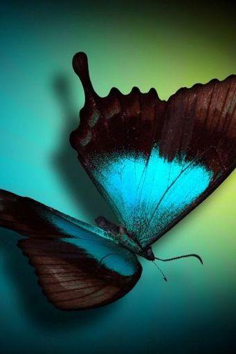 Nightfly Butterfly