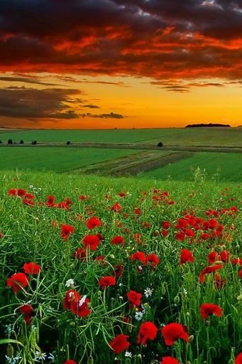Poppy-Field-at-sunset
