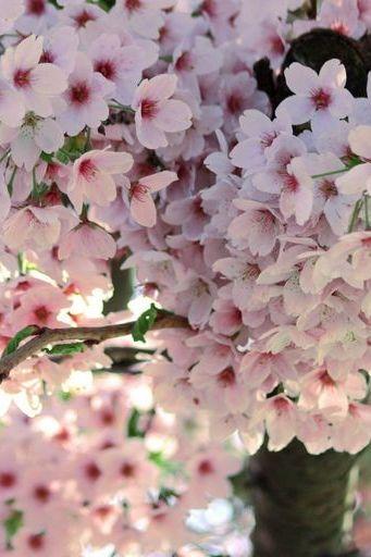 Sakura Flowers Spring