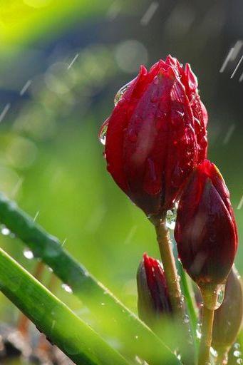 लाल फूलों की कलाई