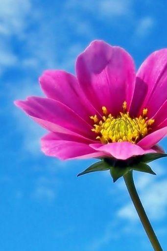 Pink Flowers Cosmos