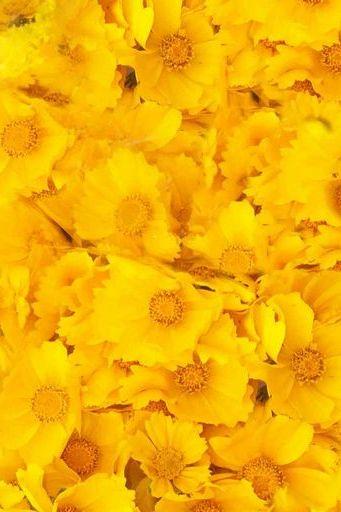 صفراء تزهر