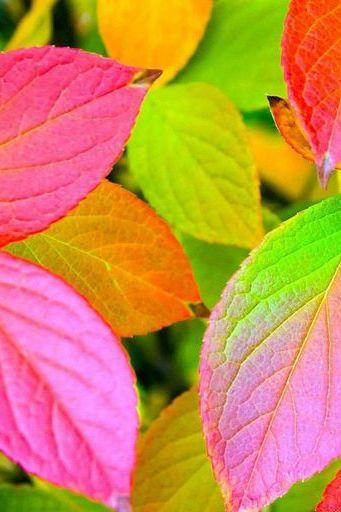 रंगीन पत्तियां