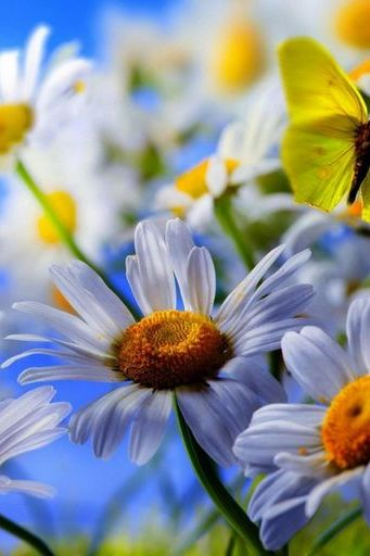 White Daisy Flowers Yellow Butterfly Blue Sky