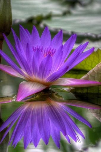 Reflection Purple Lotus