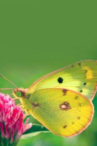 Butterfly (07)