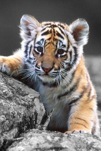 可爱的老虎崽