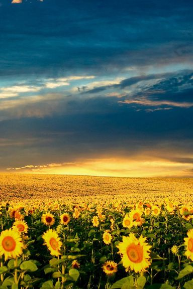 Sunflower-Meadow-768x1280