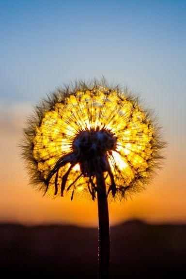 Sunny-Dandelion