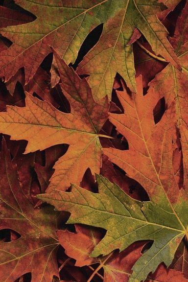 Autumn-leaves-wallpaper -