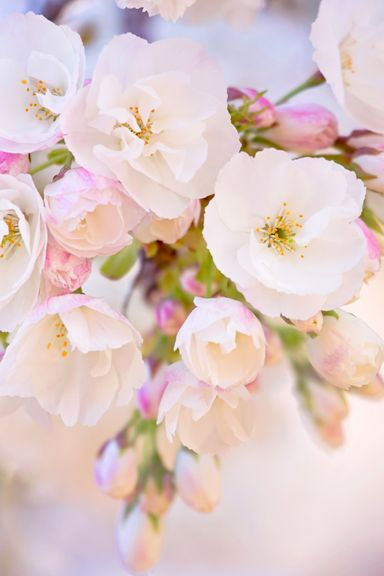 Cherry-Blossom-Branch
