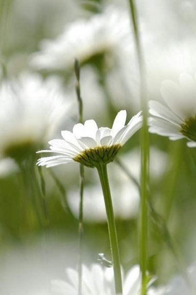 Field-Of-Daisies-