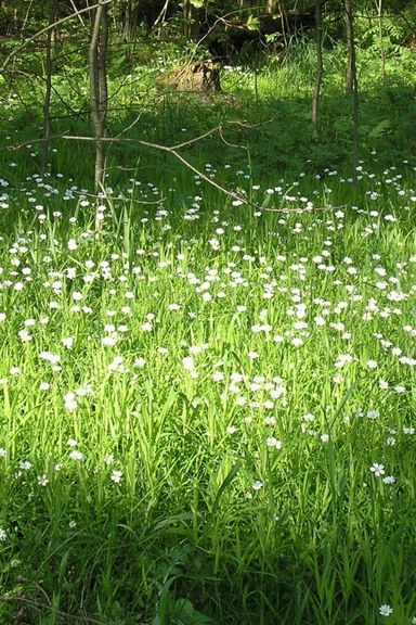 White-Flower-Meadow-