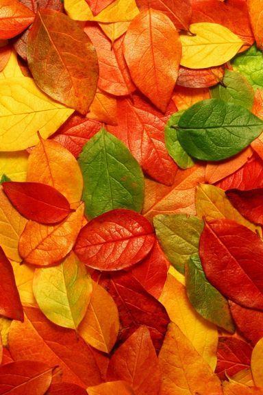 Macro Autumn Leaf
