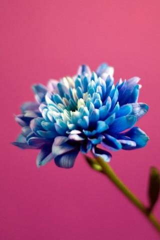 Azul em rosa