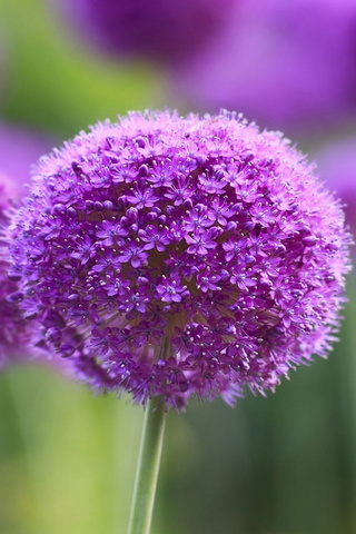 Purple Onion Flowers