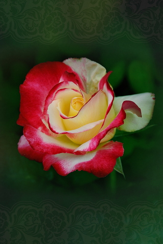 Red White Rose On An Emerald Background 640х960