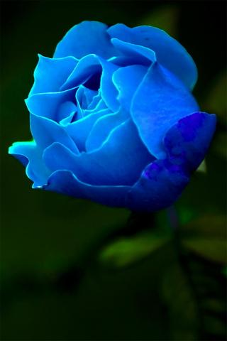 Niebieska róża