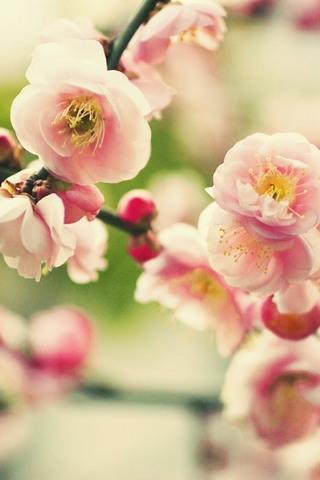 زهرة شجرة وردي