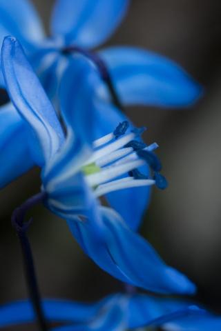 زهرة زرقاء