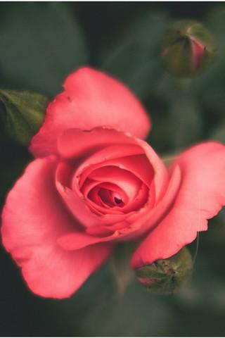 Квітка Hd