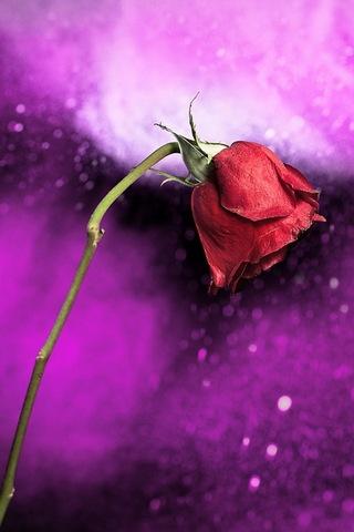 मुग्ध गुलाब