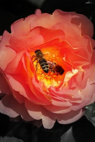 Bee & Rose