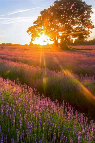Sunset Lavender Field