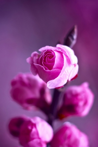 Pink Roses Branch