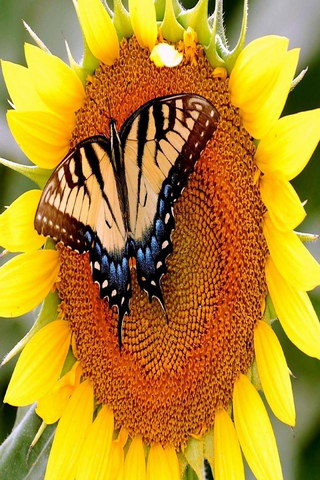 Butterfly Sunflowers