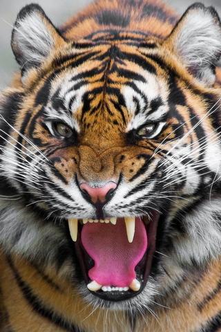 Hổ dữ