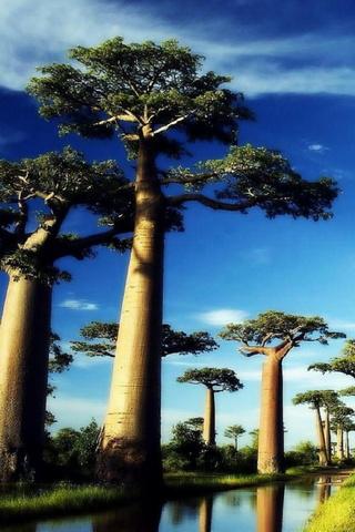 Baobab Arbre