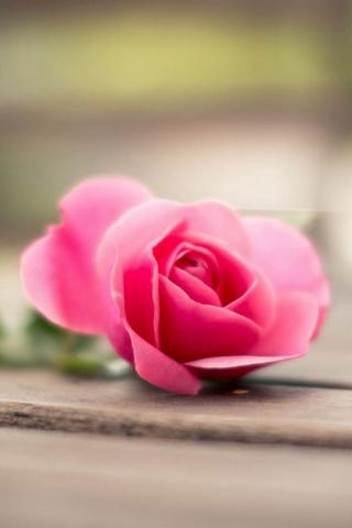 Pink Rose Bokeh