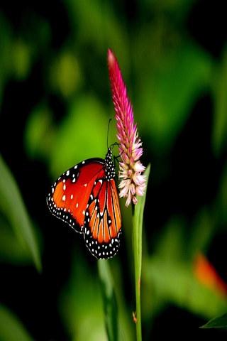 Flor de mariposa