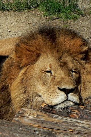Sleeping Leo