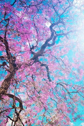 Cherry Blossoms Tree Branches