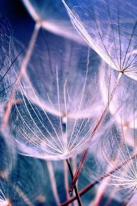 Macro Dandelions
