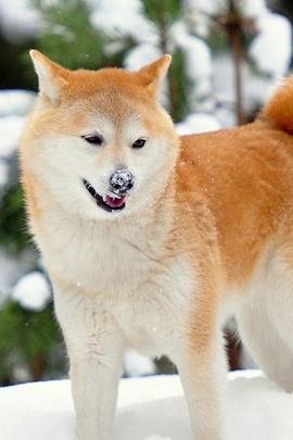 Japanese Akita Dog IPhone 6 Wallpaper